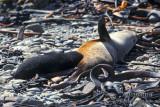 Antarctic Fur-Seal s0428.jpg