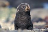 Antarctic Fur-Seal s0429.jpg