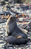Antarctic Fur-Seal s0432.jpg