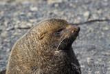 Antarctic Fur-Seal s0433.jpg