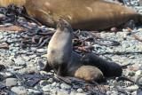 Antarctic Fur-Seal s0435.jpg