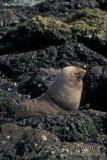 Antarctic Fur-Seal s0437.jpg