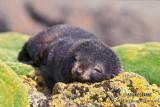 Antarctic Fur-Seal s0438.jpg
