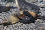 Antarctic Fur-Seal s0439.jpg