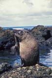 Antarctic Fur-Seal s0440.jpg