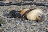 Antarctic Fur-Seal s0441