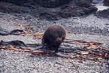 Antarctic Fur-Seal s0442.jpg
