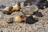Antarctic Fur-Seal s0446.jpg