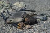 Antarctic Fur-Seal s0447.jpg