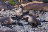 Antarctic Fur-Seal s0448.jpg