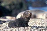 Antarctic Fur-Seal s0449.jpg