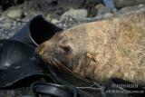 Antarctic Fur-Seal s0450.jpg