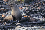 Antarctic Fur-Seal s0452.jpg