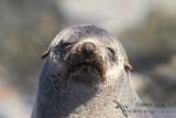 Antarctic Fur-Seal s0455.jpg
