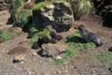 Antarctic Fur-Seal s0457.jpg