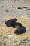 Antarctic Fur-Seal s0458.jpg