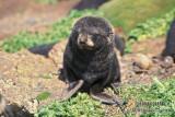 Antarctic Fur-Seal s0459.jpg