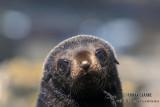 Antarctic Fur-Seal s0461.jpg