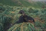 Antarctic Fur-Seal s0467.jpg
