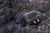 Antarctic Fur-Seal s0468.jpg