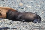 Antarctic Fur-Seal s0472.jpg