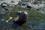 Antarctic Fur-Seal s0473.jpg