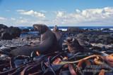 Antarctic Fur-Seal s0475.jpg