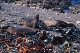 Antarctic Fur-Seal s0478.jpg