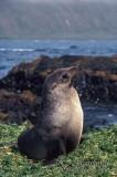 Antarctic Fur-Seal s0481.jpg