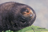 Antarctic Fur-Seal s0482