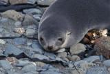 Antarctic Fur-Seal s0483.jpg