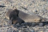Antarctic Fur-Seal s0484.jpg