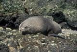 Antarctic Fur-Seal s0485.jpg