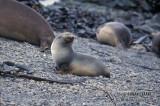 Antarctic Fur-Seal s0486.jpg