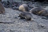 Antarctic Fur-Seal s0487.jpg