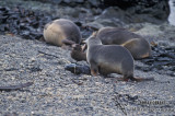 Antarctic Fur-Seal s0489.jpg
