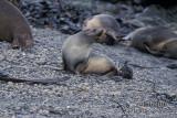 Antarctic Fur-Seal s0490.jpg