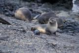 Antarctic Fur-Seal s0491.jpg