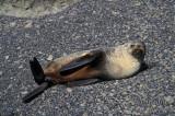 Antarctic Fur-Seal s0494.jpg