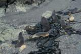 Antarctic Fur-Seal s0496.jpg