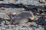 Antarctic Fur-Seal s0499.jpg