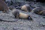 Antarctic Fur-Seal s0502.jpg