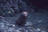 Antarctic Fur-Seal s0506.jpg