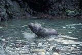 Antarctic Fur-Seal s0507.jpg