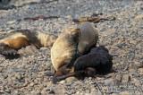 Antarctic Fur-Seal s0508.jpg