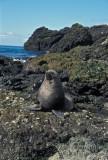 Antarctic Fur-Seal s0511.jpg
