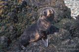Antarctic Fur-Seal s0512.jpg