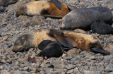 Antarctic Fur-Seal s0518.jpg