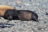 Antarctic Fur-Seal s0520.jpg