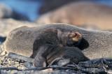 Antarctic Fur-Seal s0522.jpg